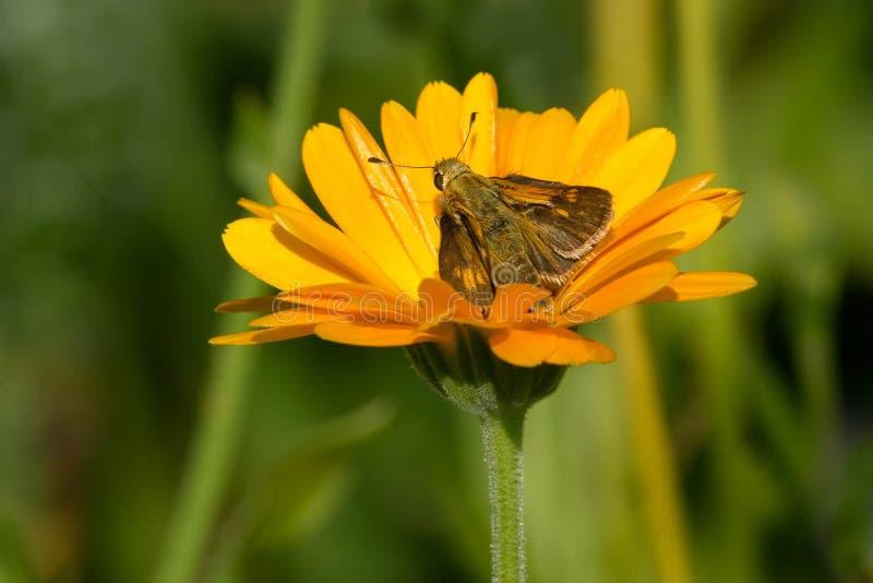 Ραμφίστε την πεταλούδα πλοιάρχων ` s στοκ εικόνα με δικαίωμα ελεύθερης χρήσης