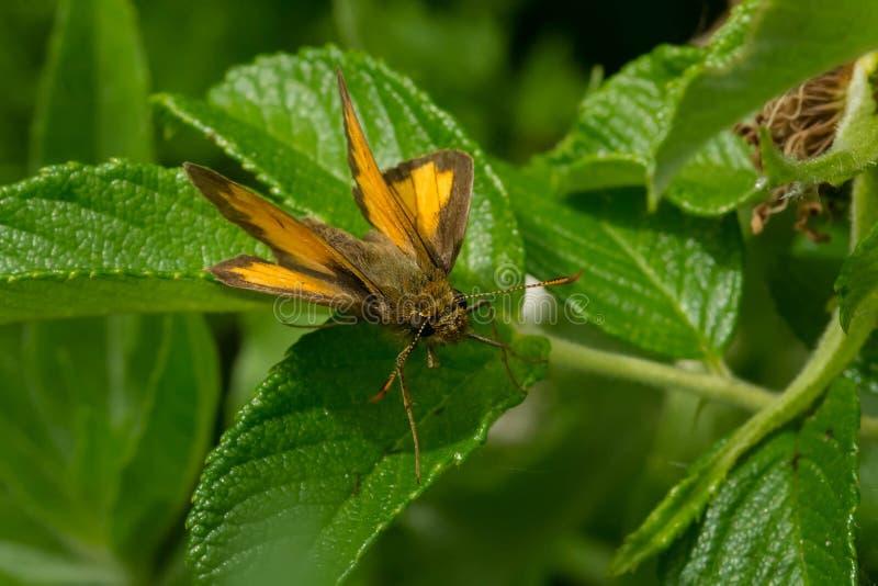 Ραμφίστε την πεταλούδα πλοιάρχων ` s - peckius Polites στοκ εικόνες με δικαίωμα ελεύθερης χρήσης