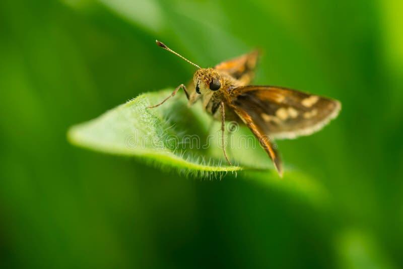 Ραμφίστε την πεταλούδα πλοιάρχων ` s - peckius Polites στοκ εικόνα