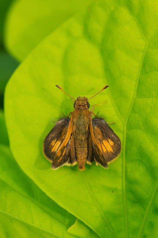 Ραμφίστε την πεταλούδα πλοιάρχων ` s - peckius Polites στοκ εικόνες