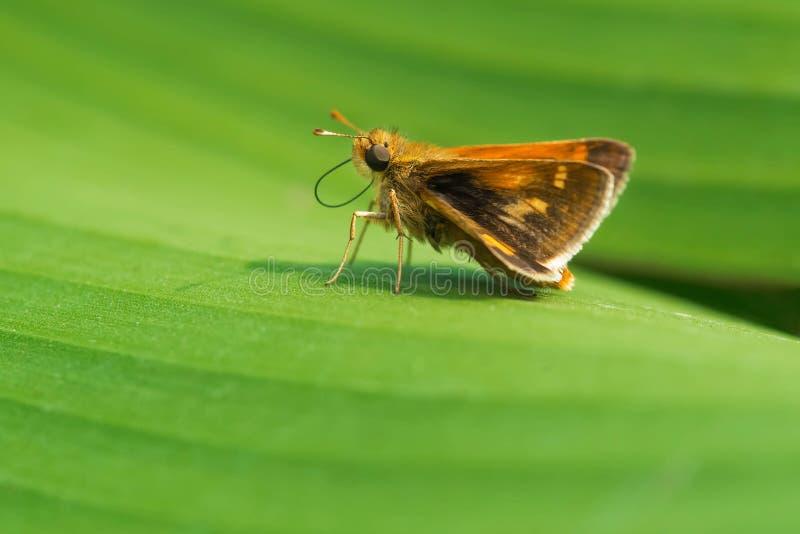 Ραμφίστε την πεταλούδα πλοιάρχων ` s - peckius Polites στοκ φωτογραφίες με δικαίωμα ελεύθερης χρήσης