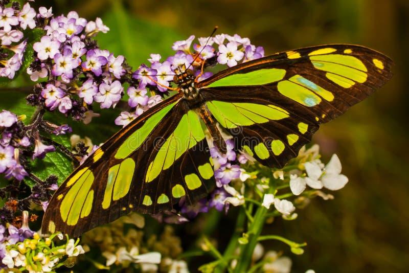 Λιγοστή πεταλούδα σελίδων μπαμπού στοκ εικόνες
