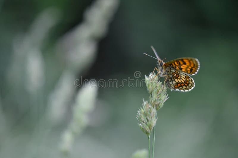 Ρείκι fritillary στοκ φωτογραφία με δικαίωμα ελεύθερης χρήσης