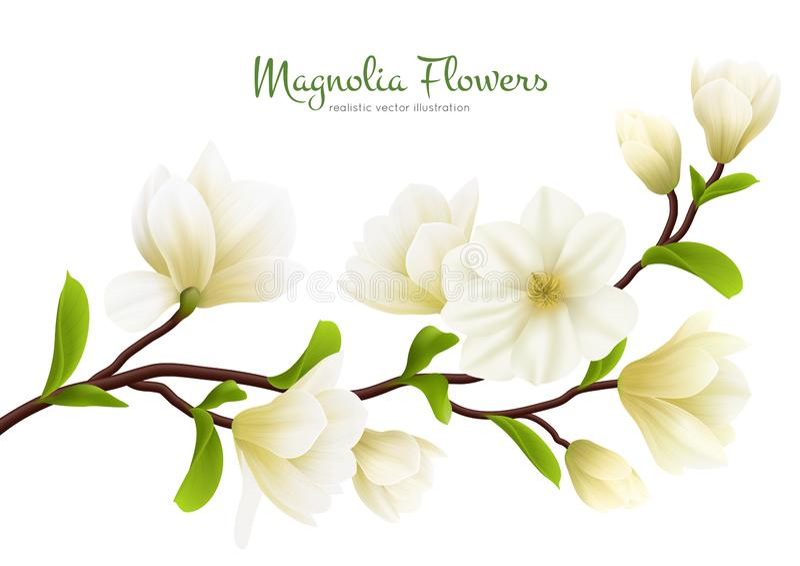 Ρεαλιστική άσπρη σύνθεση λουλουδιών Magnolia απεικόνιση αποθεμάτων