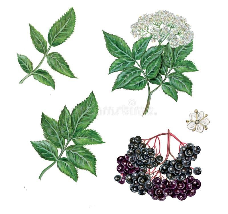 Ρεαλιστική απεικόνιση elderberry διανυσματική απεικόνιση