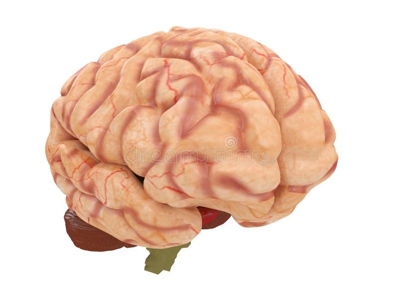 Ρεαλιστικός εγκέφαλος από τη δευτερεύουσα ή μπροστινή άποψη που απομονώνεται σε μια άσπρη τρισδιάστατη απόδοση υποβάθρου ελεύθερη απεικόνιση δικαιώματος