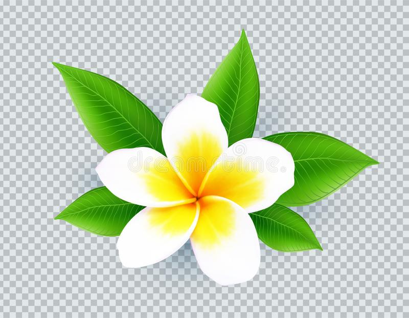 Ρεαλιστικό διανυσματικό άσπρο λουλούδι frangipani που απομονώνεται στο διαφανές υπόβαθρο πλέγματος ελεύθερη απεικόνιση δικαιώματος