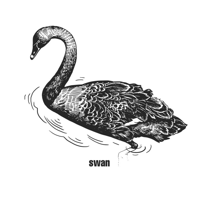 Ρεαλιστικό μαύρο πουλί του Κύκνου Γραπτή γραφική παράσταση διανυσματική απεικόνιση