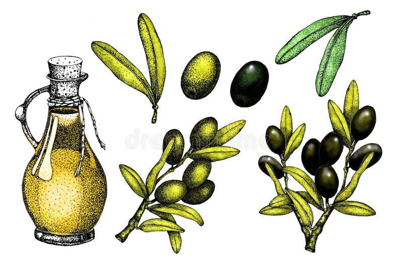Ρεαλιστικό σύνολο απεικόνισης μαύρου και πράσινου κλάδου ελιών που απομονώνεται στο πράσινο υπόβαθρο Σχέδιο για το ελαιόλαδο, φυσ ελεύθερη απεικόνιση δικαιώματος