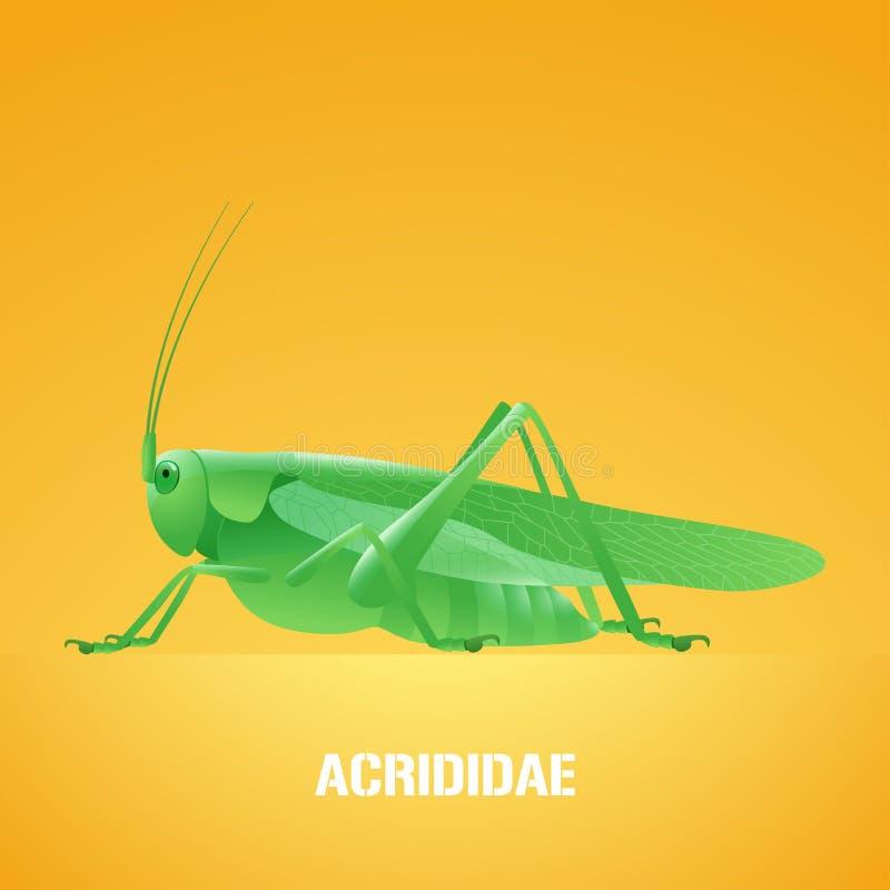 Ρεαλιστική διανυσματική απεικόνιση του πράσινου εντόμου Acrididae, ακρίδα, grasshopper διανυσματική απεικόνιση