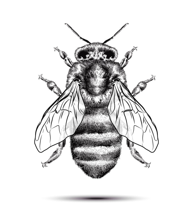 Ρεαλιστική μέλισσα μελιού που απομονώνεται σε ένα άσπρο υπόβαθρο Μαύρο άσπρο σχέδιο Γραφική απεικόνιση για το σχέδιό σας διανυσματική απεικόνιση