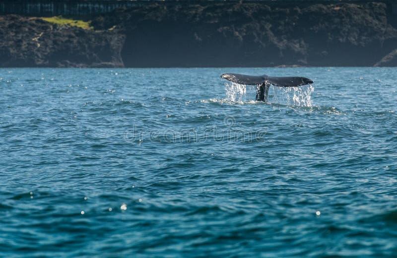 Ρεύμα νερού από την γκρίζα ουρά φαλαινών στοκ φωτογραφία με δικαίωμα ελεύθερης χρήσης