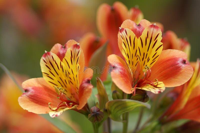 Ρηχό βάθος λουλουδιών του τομέα στοκ φωτογραφία με δικαίωμα ελεύθερης χρήσης