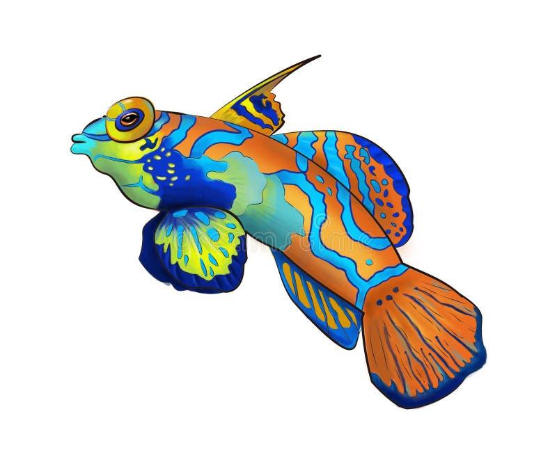 Ριγωτά κινούμενα σχέδια Mandarinfish στοκ εικόνες