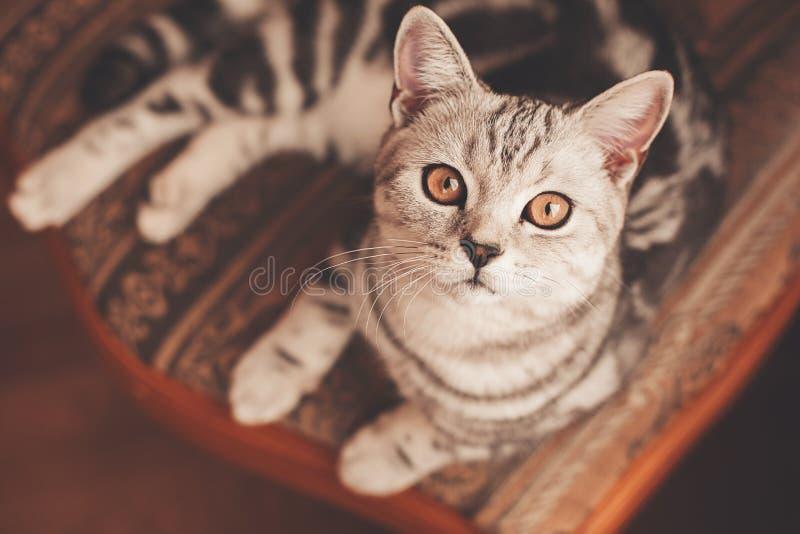 Ριγωτή γάτα που βρίσκεται στην καρέκλα στοκ εικόνες