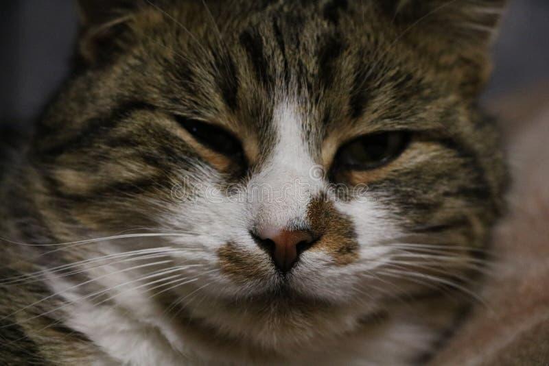 Ριγωτή γάτα Mustache στοκ φωτογραφίες