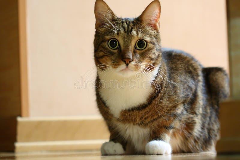 Ριγωτή καφετιά εσωτερική γάτα έτοιμη να επιτεθεί στο θήραμά του στοκ φωτογραφίες με δικαίωμα ελεύθερης χρήσης