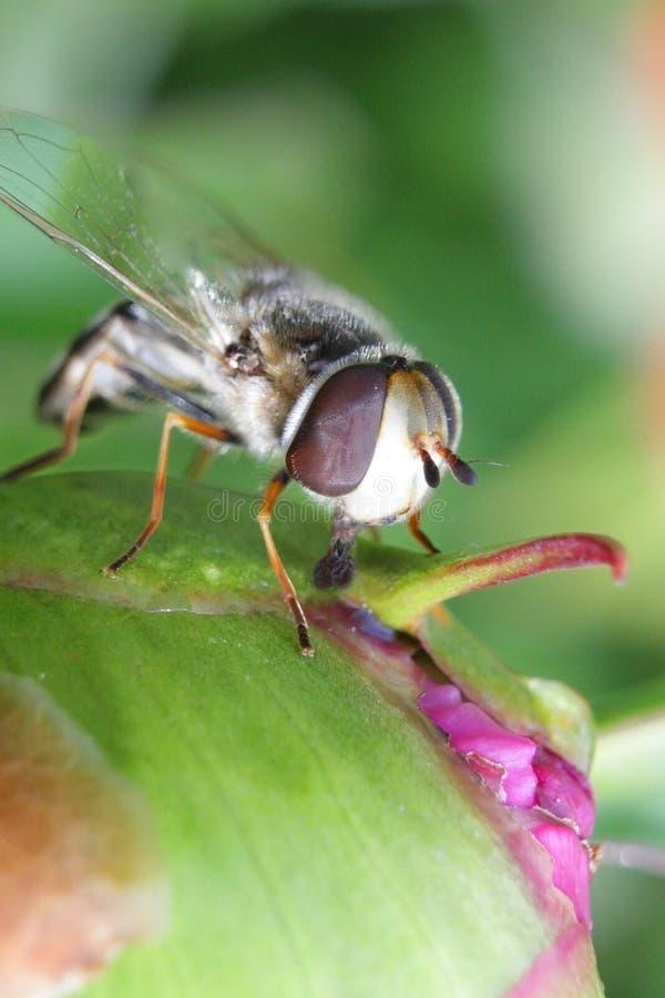 Ριγωτή μύγα Syrphidae - hoverfly που συλλέγει το νέκταρ από peony στον κήπο στοκ φωτογραφία με δικαίωμα ελεύθερης χρήσης
