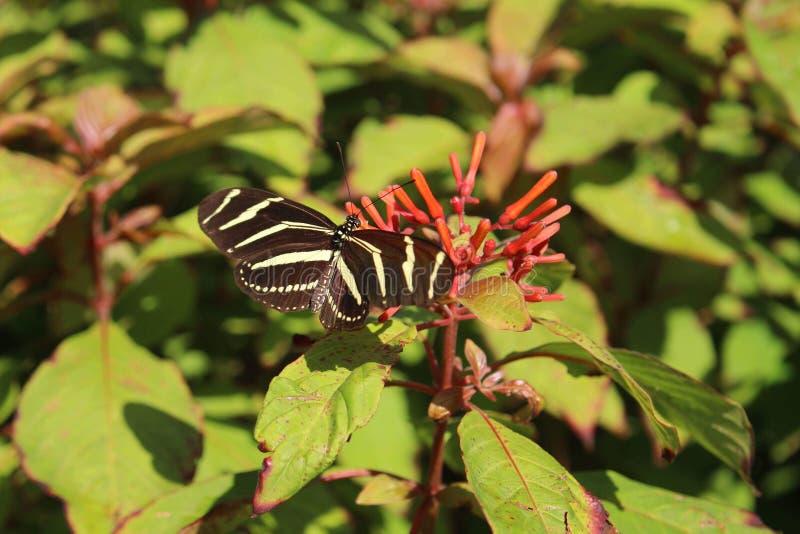 Ριγωτή πεταλούδα που προσγειώνεται στο λουλούδι στοκ φωτογραφία