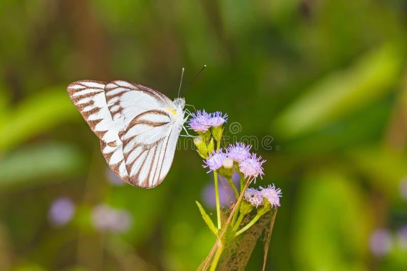 Ριγωτή πεταλούδα άλμπατρος στοκ φωτογραφία με δικαίωμα ελεύθερης χρήσης