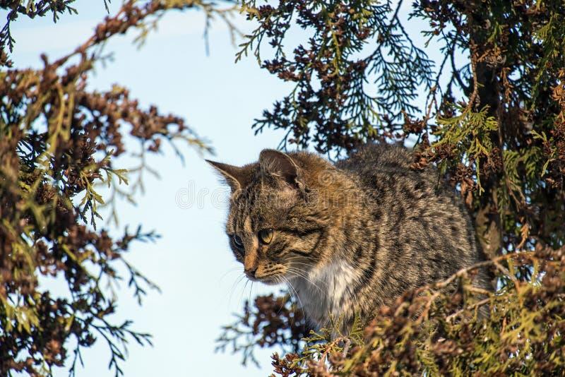 Ριγωτή συνεδρίαση γατών σε ένα δέντρο και προσοχή του πουλιού στοκ φωτογραφία