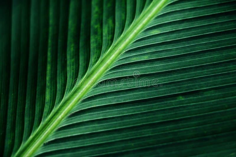 Ριγωτή σύσταση του πράσινου φύλλου φοινικών, περίληψη του φύλλου μπανανών στοκ εικόνα