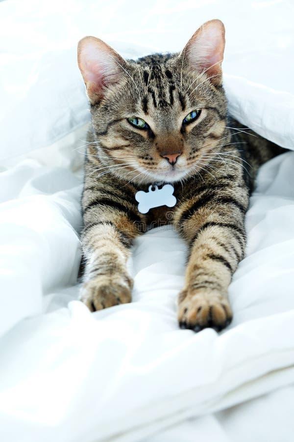 Ριγωτή, τιγρέ γάτα ενός έτους βρεφών που κοιτάζει επίμονα στη κάμερα στοκ εικόνες με δικαίωμα ελεύθερης χρήσης