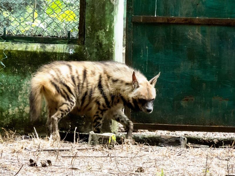 Ριγωτή hyena-Ινδία στοκ εικόνες