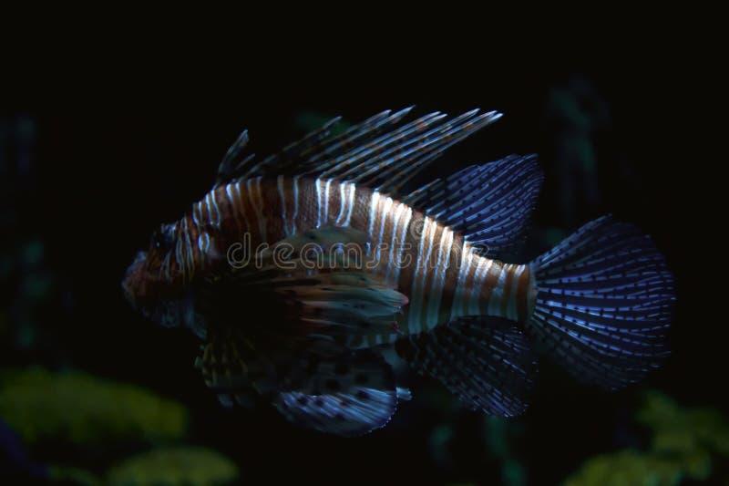 ριγωτός τροπικός ψαριών στοκ φωτογραφίες