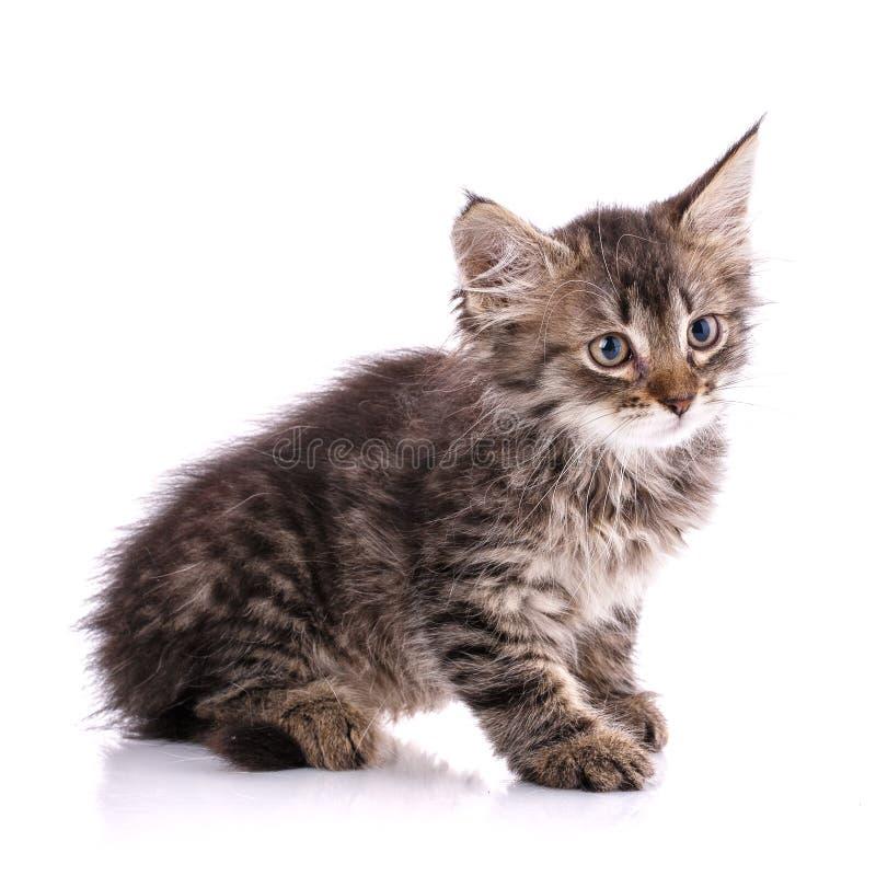Ριγωτό γατάκι με το άσπρο στόμα και θύσανοι στα αυτιά η ανασκόπηση απομόνωσε το λευκό στοκ εικόνες