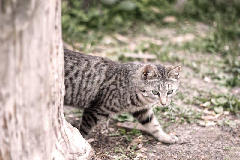 Ριγωτό γκρίζο να γλιστρήσει γατών πίσω από το δέντρο στη φύση στο πράσινο δάσος στοκ φωτογραφία με δικαίωμα ελεύθερης χρήσης