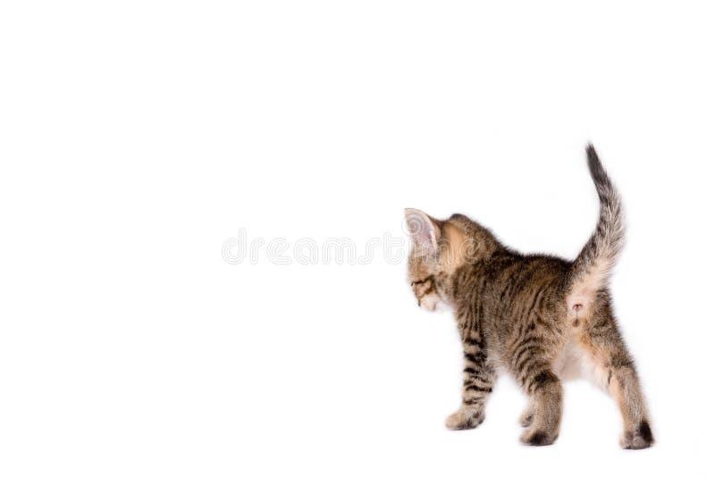 ριγωτό περπάτημα γατακιών στοκ εικόνα με δικαίωμα ελεύθερης χρήσης