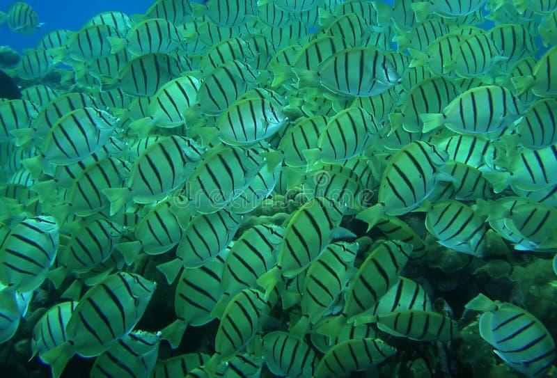 ριγωτό τροπικό ύδωρ ψαριών στοκ εικόνες με δικαίωμα ελεύθερης χρήσης