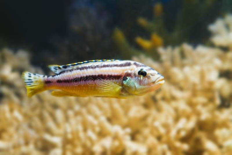 Ριγωτό auratus Melanochromis ψαριών mbuna του Μαλάουι λιμνών, χρυσό cichlid, στο ψευδο θαλάσσιο ενυδρείο στοκ εικόνες
