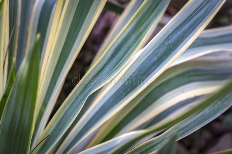 Ριγωτό gloriosa Yucca φύλλων στο φυσικό φως του κήπου Μια διαδοχή των πράσινων, άσπρων, κίτρινων λωρίδων του φύλλου στοκ φωτογραφία με δικαίωμα ελεύθερης χρήσης