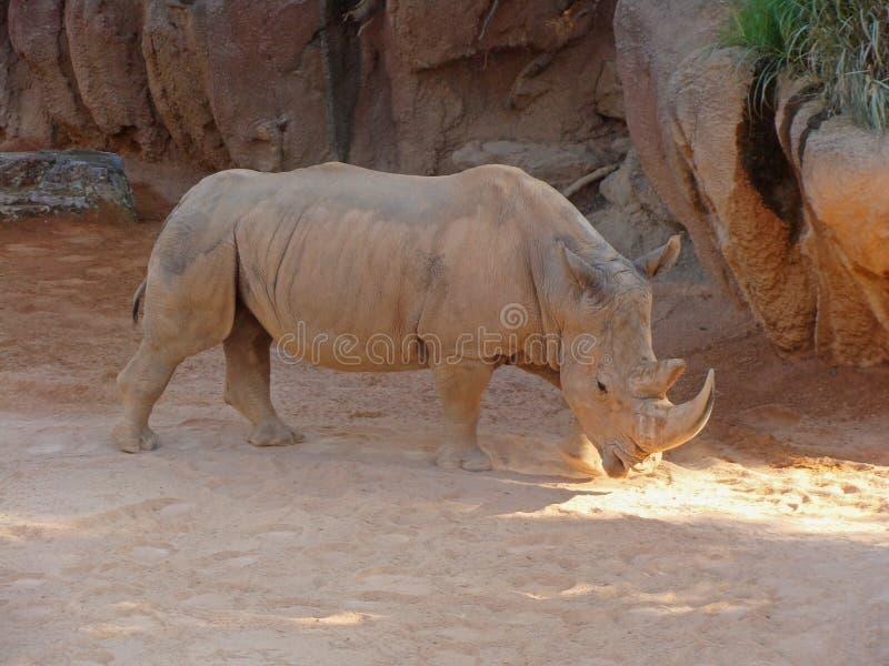 Ρινόκερος ή ρινόκερος στους περιπάτους σκόνης και αργίλου στοκ εικόνα