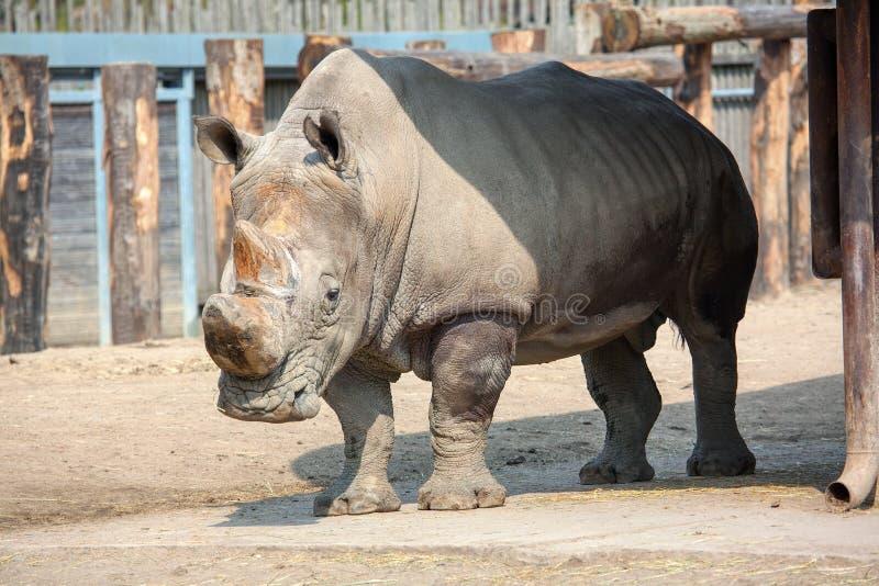 Ρινόκερος ζωολογικού κήπου στοκ φωτογραφία