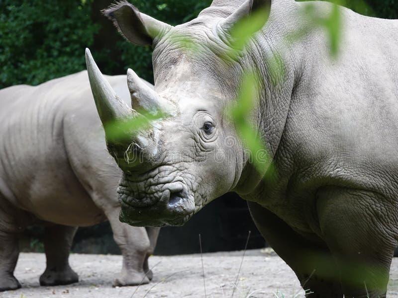 Ρινόκερος 11 ζωολογικών κήπων Bronx στοκ φωτογραφίες με δικαίωμα ελεύθερης χρήσης