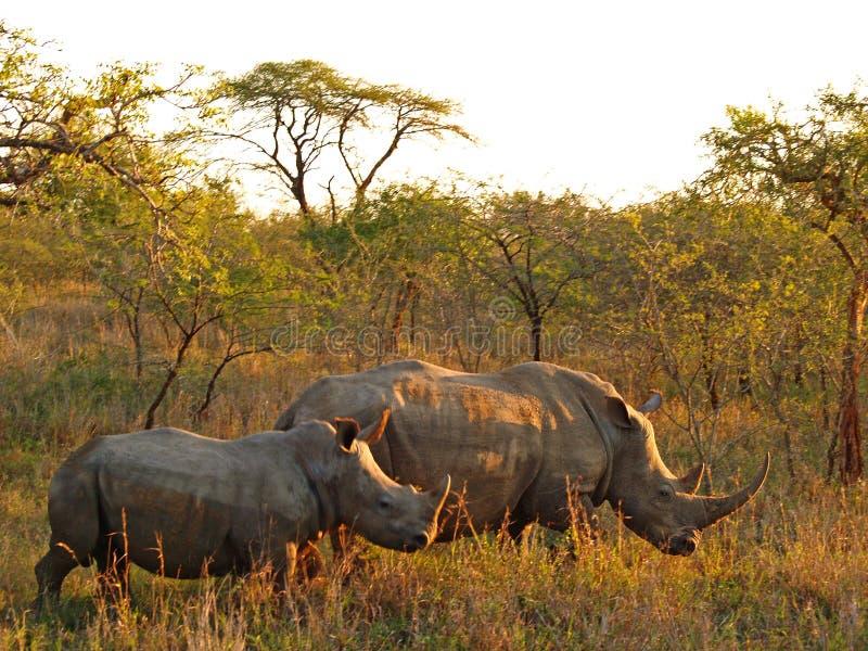ρινόκερος μόσχων στοκ εικόνες με δικαίωμα ελεύθερης χρήσης