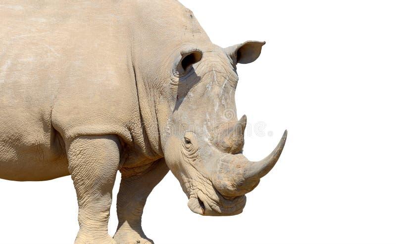 Ρινόκερος που απομονώνεται στο άσπρο υπόβαθρο στοκ φωτογραφία