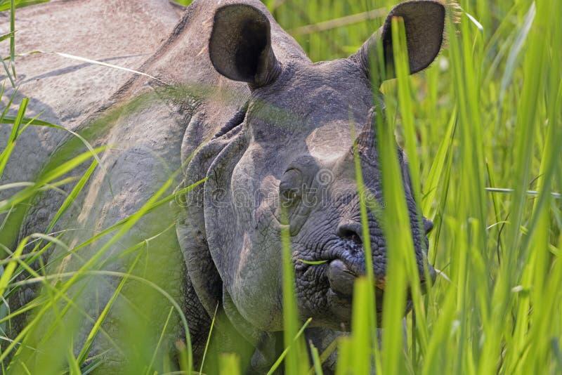 Ρινόκερος που κρυφοκοιτάζει μέσω των χλοών στοκ φωτογραφίες