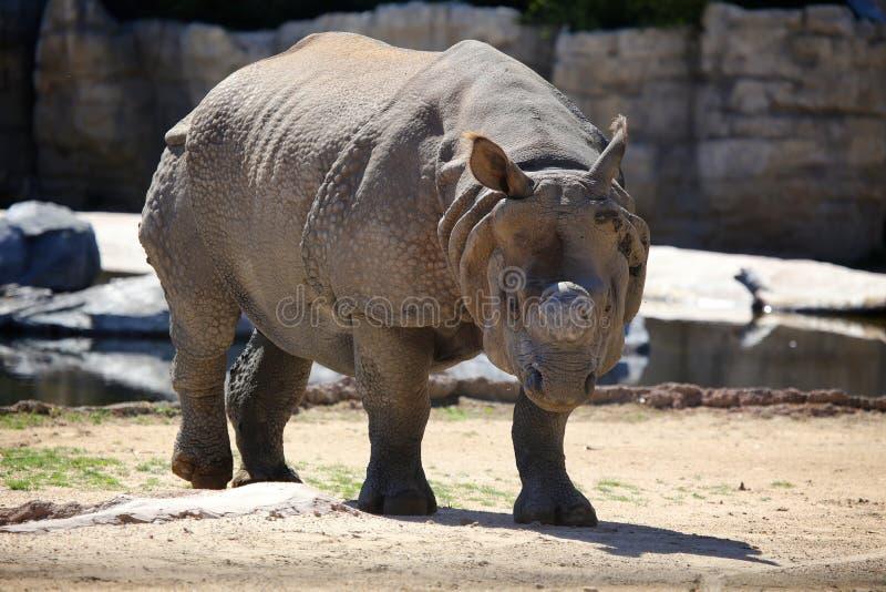 Ρινόκερος που περπατά στο ζωολογικό κήπο στοκ φωτογραφία