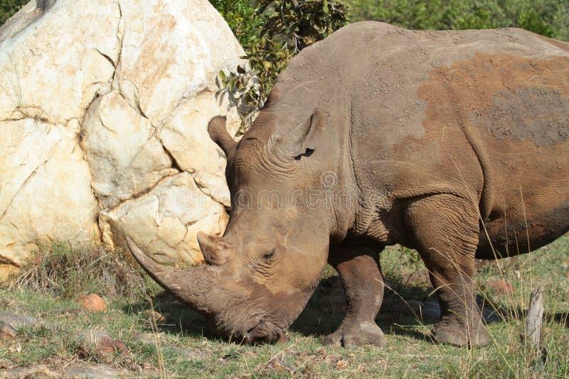 Ρινόκερος που περπατά τη Mara στοκ εικόνα