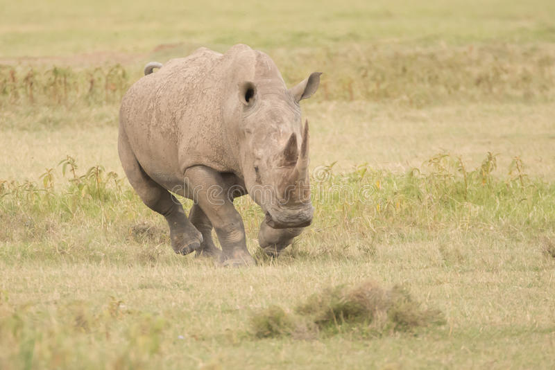 Ρινόκερος που χρεώνει με το κεφάλι κάτω πέρα από τη σαβάνα στοκ εικόνες