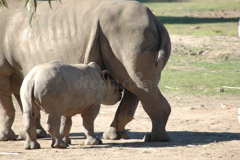ρινόκερος σίτισης μωρών στοκ φωτογραφίες με δικαίωμα ελεύθερης χρήσης