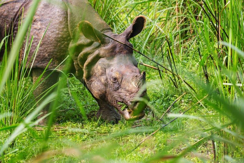 Ρινόκερος στο Νεπάλ στοκ φωτογραφία με δικαίωμα ελεύθερης χρήσης