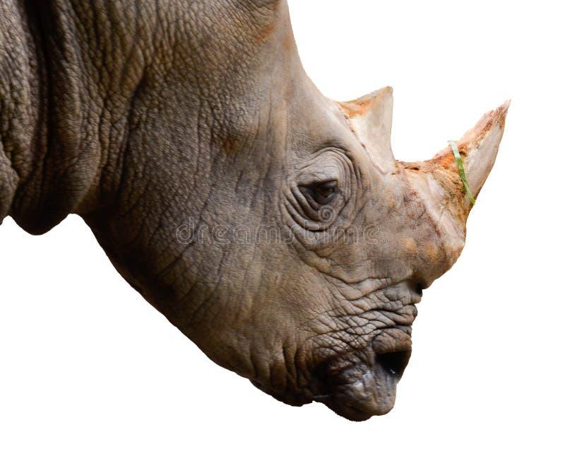 ρινόκερος στο blackground, πρόσωπο στοκ εικόνες