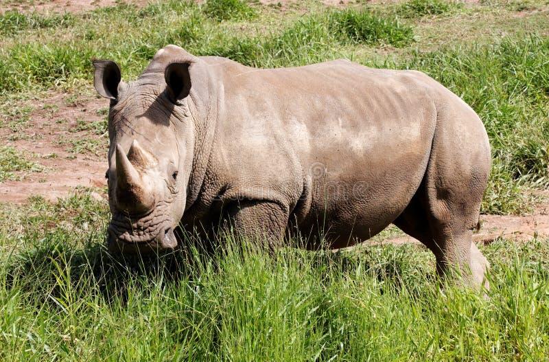 ρινόκερος στοκ φωτογραφία