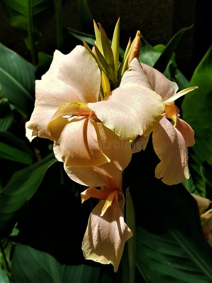 Ροδάκινο Gladiola στοκ εικόνες