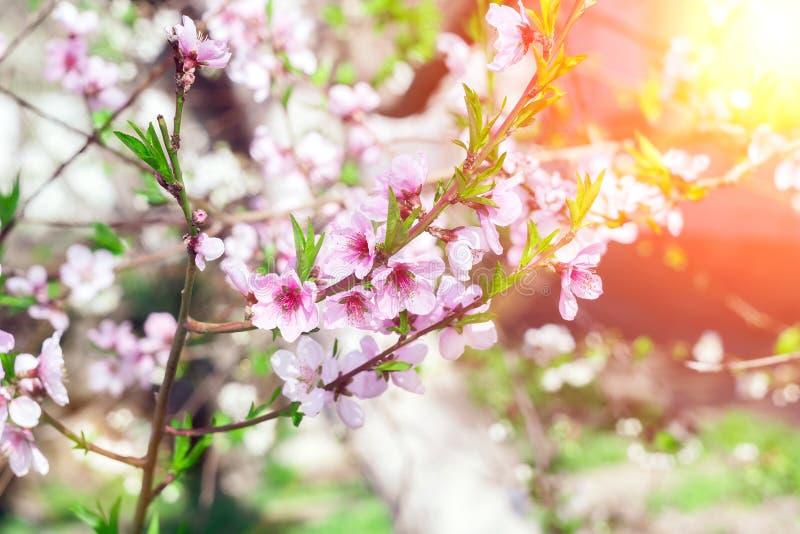 Ροδακινιές με ανθοφόρο δέντρο και ηλιακές φλόγες Ηλιόλουστη μέρα Άνθη Όμορφος κήπος Αφηρημένο θαμπό φόντο Σε στοκ εικόνες